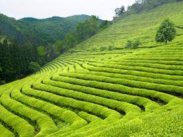Pola zielonej herbaty