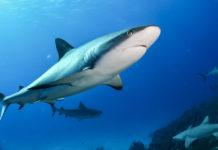 olej z wątroby rekina