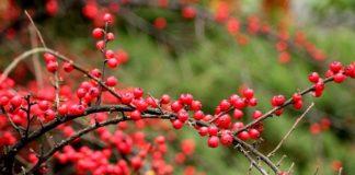 Krzew ozdobny z kolorowymi owocami