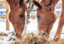 Karmienie koni zimą