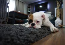 Biały buldog odpoczywający na ciemnym dywanie