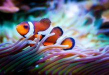 rybka błazenek w akwarium