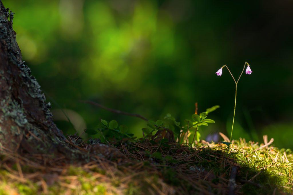 Linnaea borealis w puszczy kampinoskiej