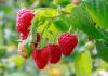 maliny owoce