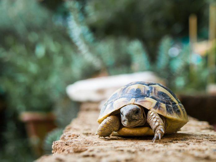 hodowla żółwia