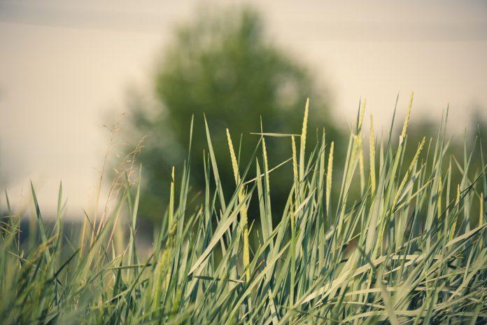 trawa trawnik